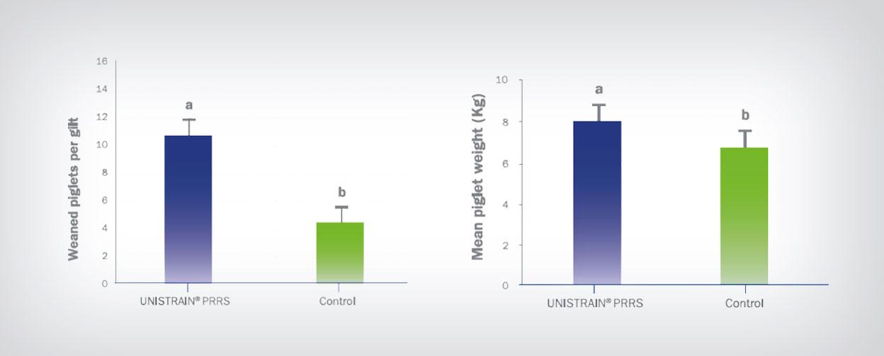 Nulíparas vacunadas por vía intradérmica contra el PRRS frente a nulíparas no vacunadas2
