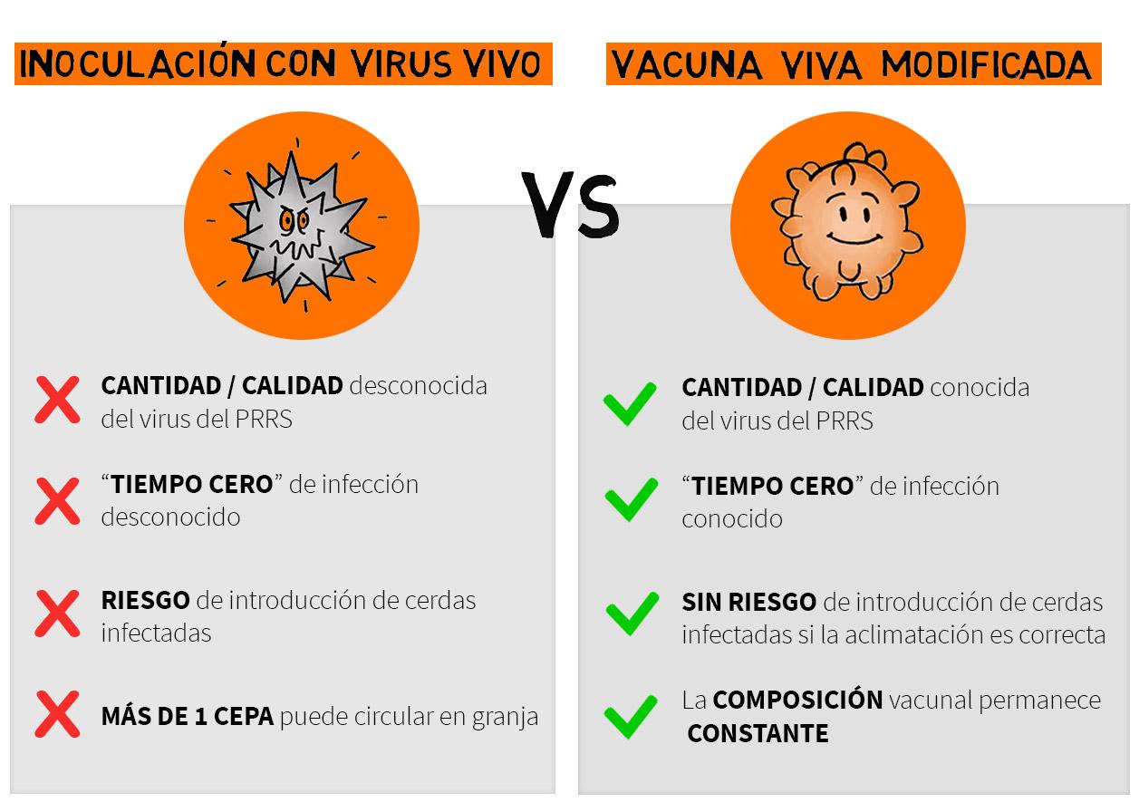Inoculación con virus vivo del PRRS vs inmunización de los animales reemplazados mediante vacunación con vacuna viva modificada