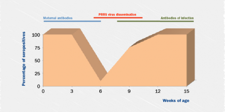 Desarrollo de la respuesta inmunitaria al virus del PRRS en lechones.
