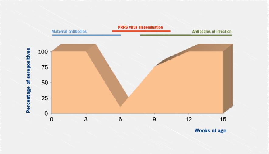 PRRS virus Immune response development in piglets.