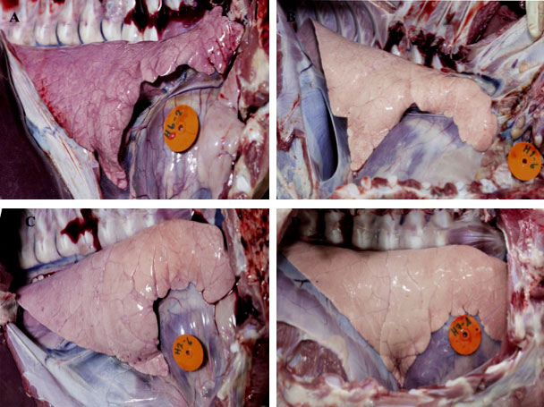 PRRS in Pigs: Lung lesion