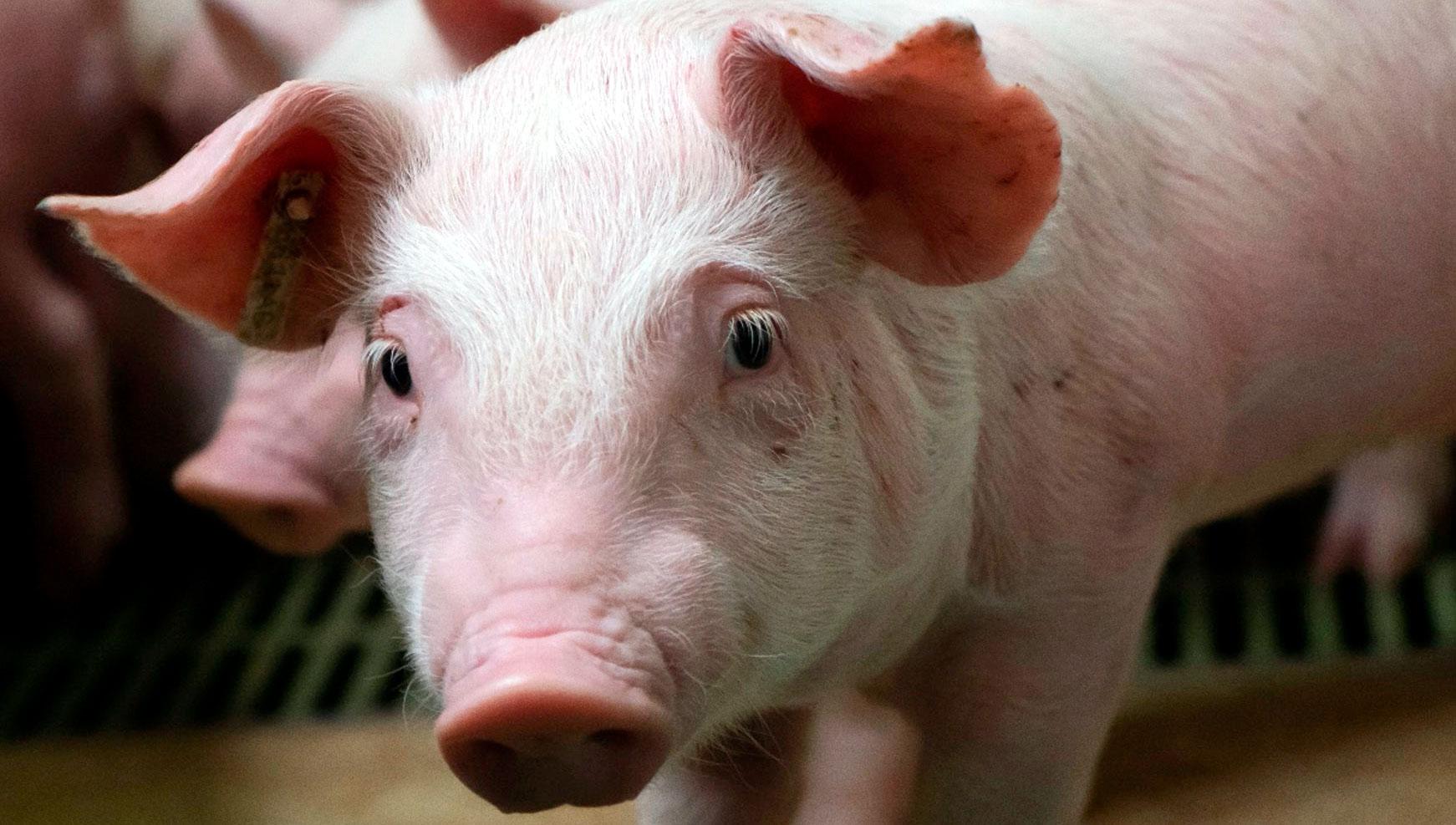 Inmunización contra el PRRSV de cerdos en unidades de engorde inestables positivas de múltiples orígenes: ¿es mejor vacunar a los cerdos en origen o a la llegada?