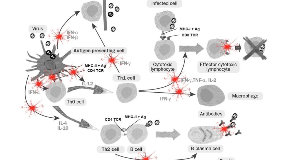 Desregulación inmunitaria del virus del PRRS sobre la inmunidad innata y adaptativa